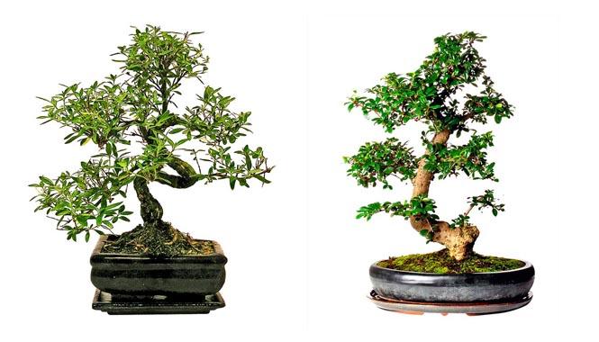 Japonské umění miniaturizace stromů