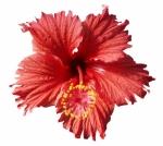 Hibiscus rosa-sinensis, kultivar Brasilia, sbírky Aleny Jarošové, 95 Kč, ZAHRADA DAFRAL