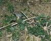 Kopřiva dvoudomá (Urtica dioica)