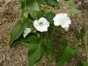Opletník plotní (Calystegia sepium)