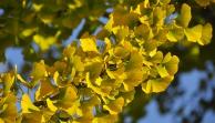 Zázračný strom Ginkgo biloba