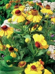 Helenium autumnale Rotgold