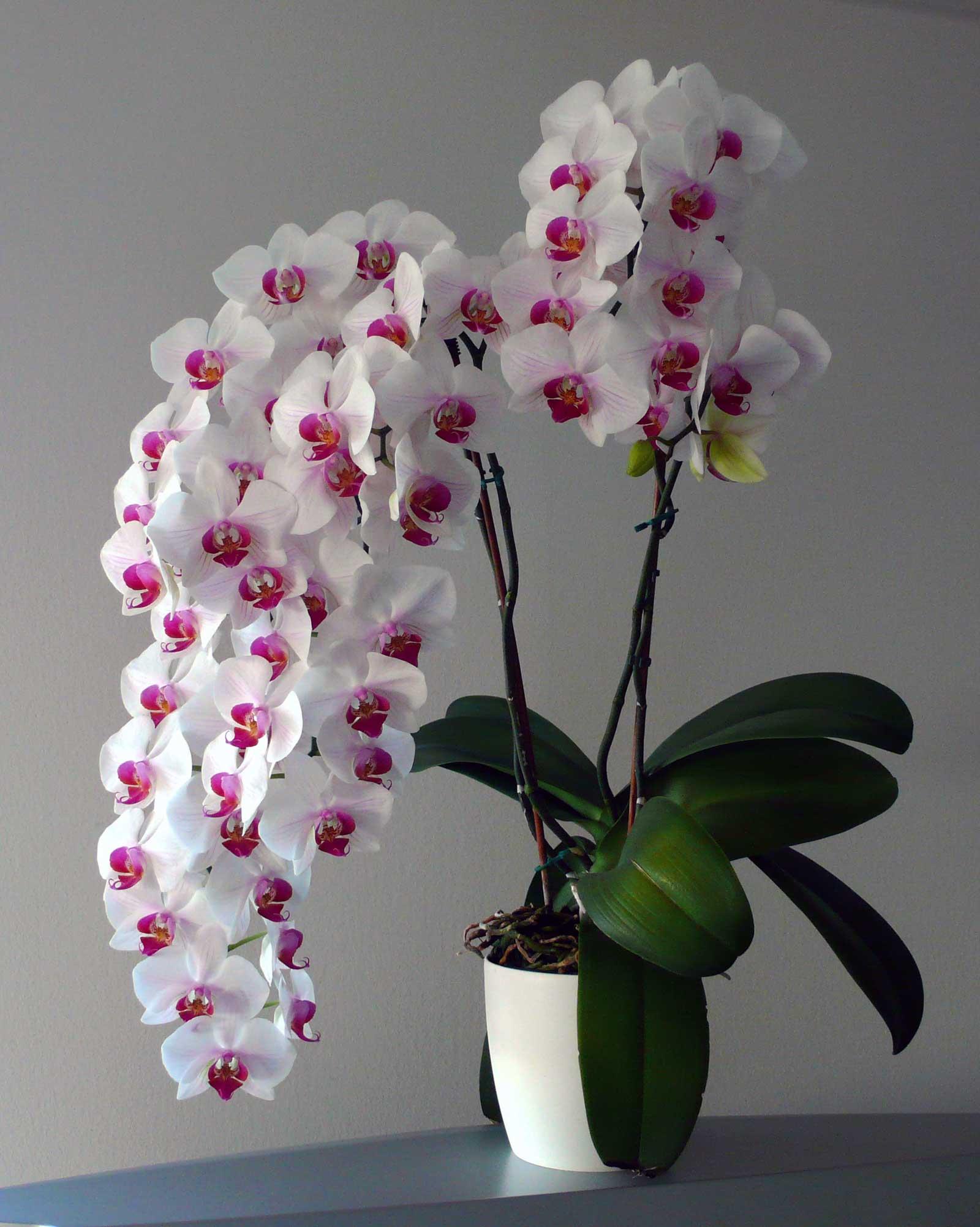 pěstování orchidejí | Dům a byt