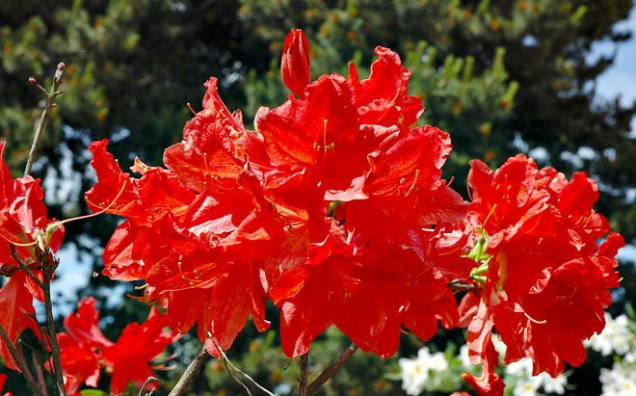 Rhododendron Radiant
