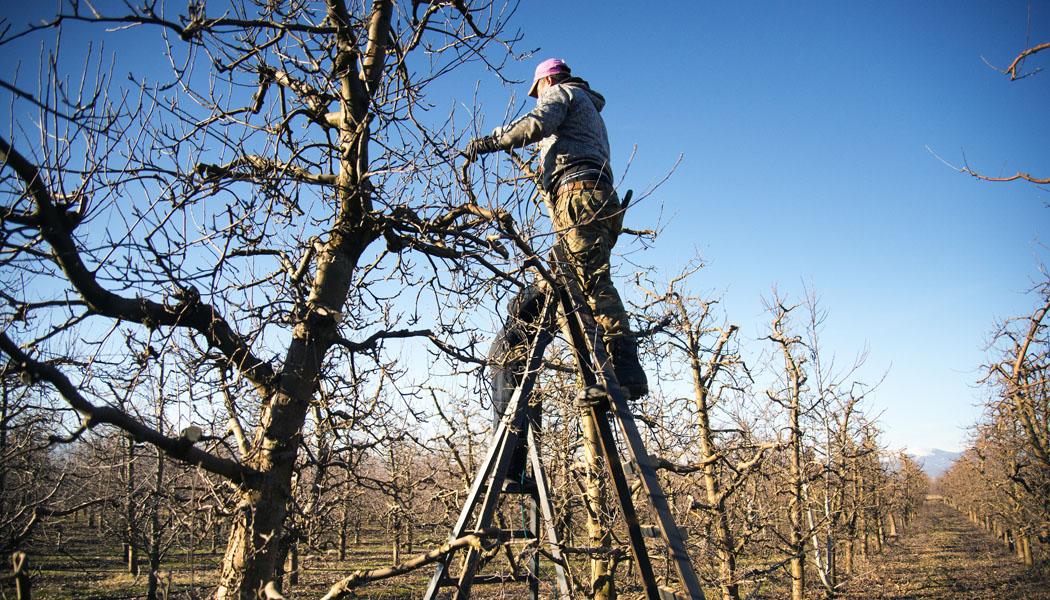 Jak na zmlazení starších ovocných stromů