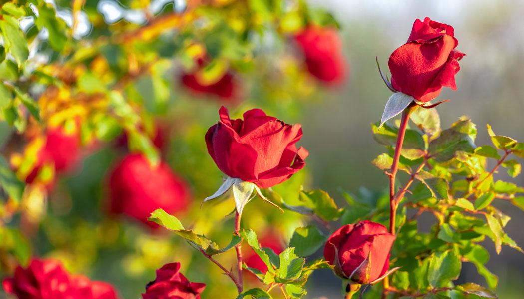 Jarní sázení růží