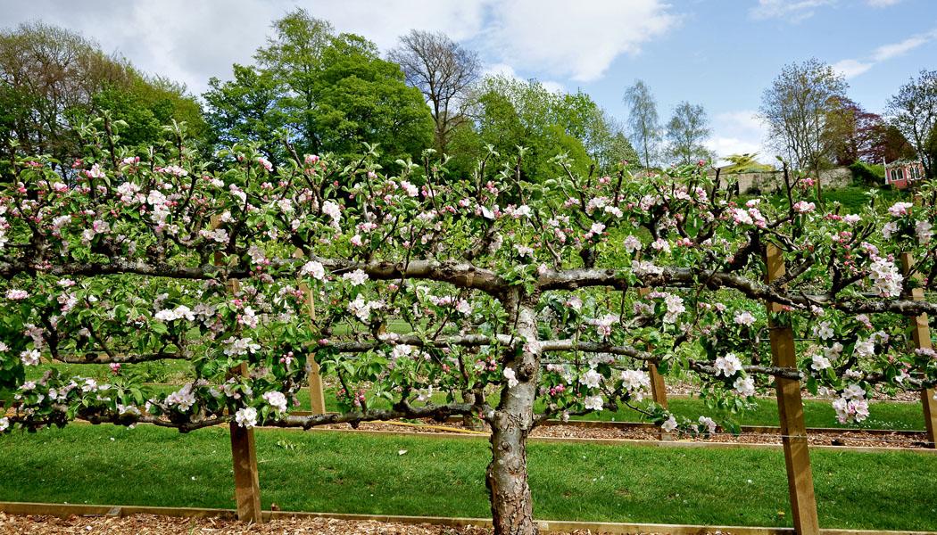 Co mají společného jabloně s hrušněmi?