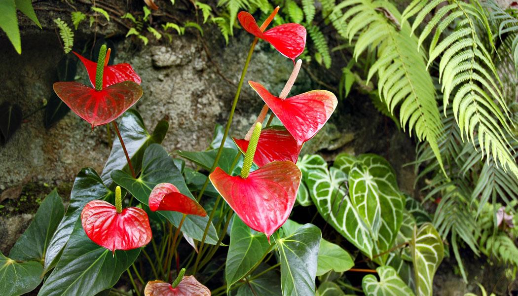 Anturium - květiny pro chvíle všední i slavnostní