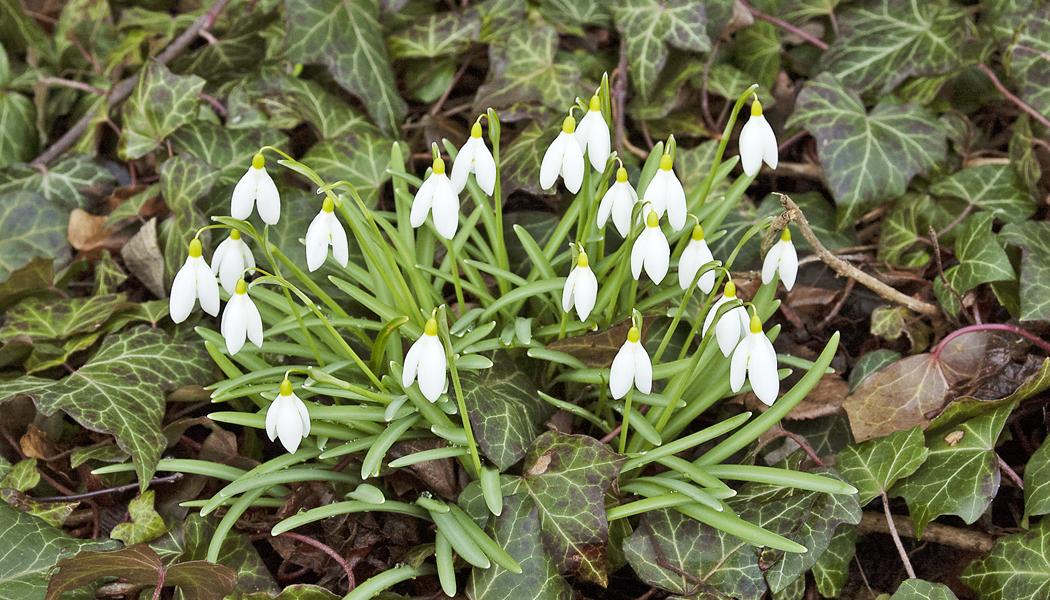 Vítání jara se sněženkami a bledulemi