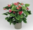 Anthurium Firefly