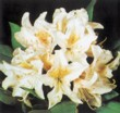 "Rhododendron ""Cunningham's White"""